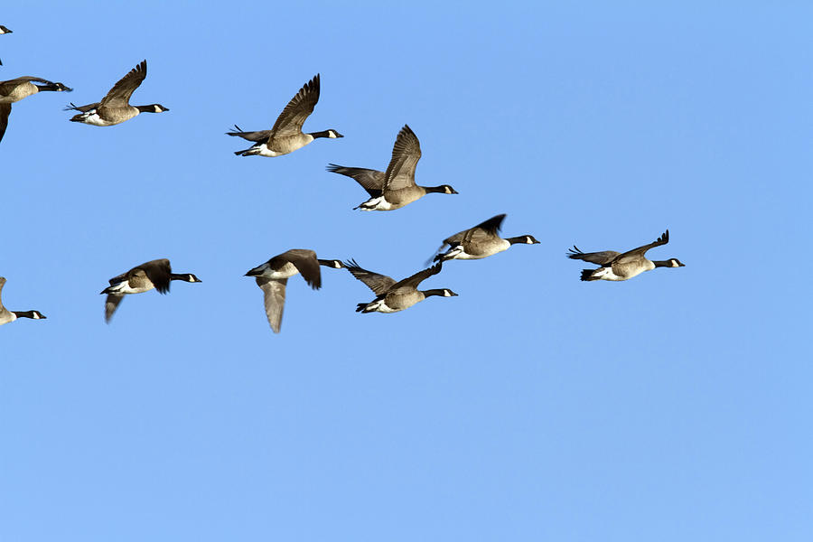 buy canada goose flying formation